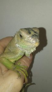 Dulce, the baby green iguana