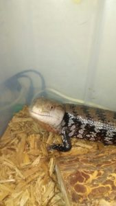 LeBeef, the blue-tongued skink