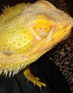 Mango the Bearded Dragon