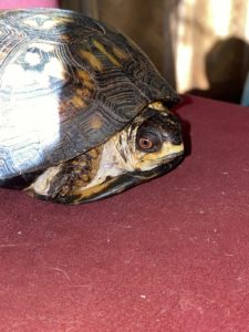 Turtwig, the Eastern box turtle