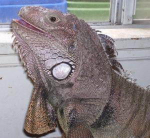 Iguana Smiling
