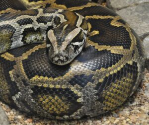 Respect for pythons? Snakes may hold key to treating disease