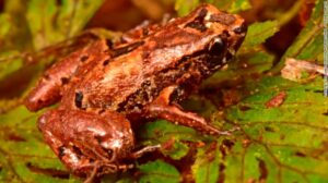 Gulliver's Amphibian Travels? Among Other Rare Species in Bolivia, Scientists Discover the Tiniest Frog