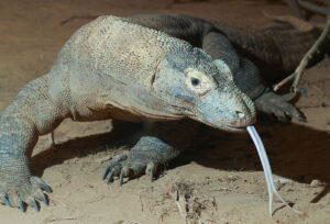 The Komodo Dragon: Not Just A Pretty Face