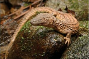 Let Them Hear: Earless Monitor's Fate Exposes Illegal Animal Trafficking
